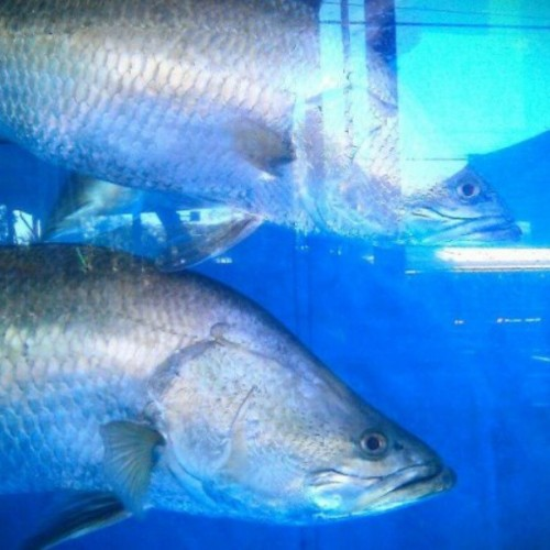 Big girls in the barra tank #fishing #northwestexpo #broome #australia