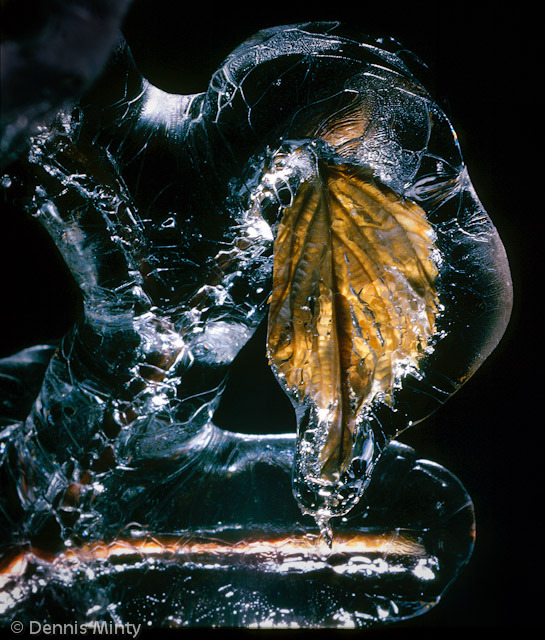 Leaf in Ice by Dennis Minty