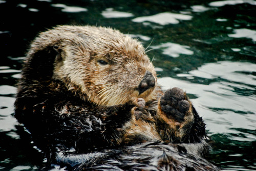 Sleepy otter applauds