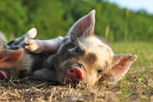 Sleeping Kunekune Piglet by peteaylward