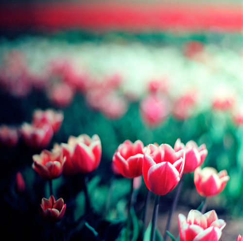 aayla:  Tulips III by spiritusmentis on Flickr.