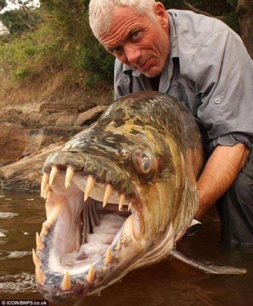 bestfriend4ever-gmark08:  Goliath Tigerfish.A native of the Congo River basin, the Lualaba River, Lake Upemba and Lake Tanganyika in Africa, it's the largest member of the tigerfish clan, a genus of fierce predators with protruding, daggerlike teeth.Locals say it's the only fish that doesn't fear the crocodile and that it actually eats smaller ones. It's also been known to attack humans in rare instances.
