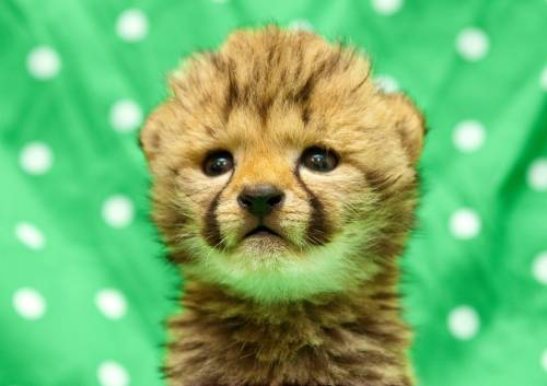 fuckyeahbabyanimals:  dhotson:  Cheetahs are the coolest.  Yes they are.