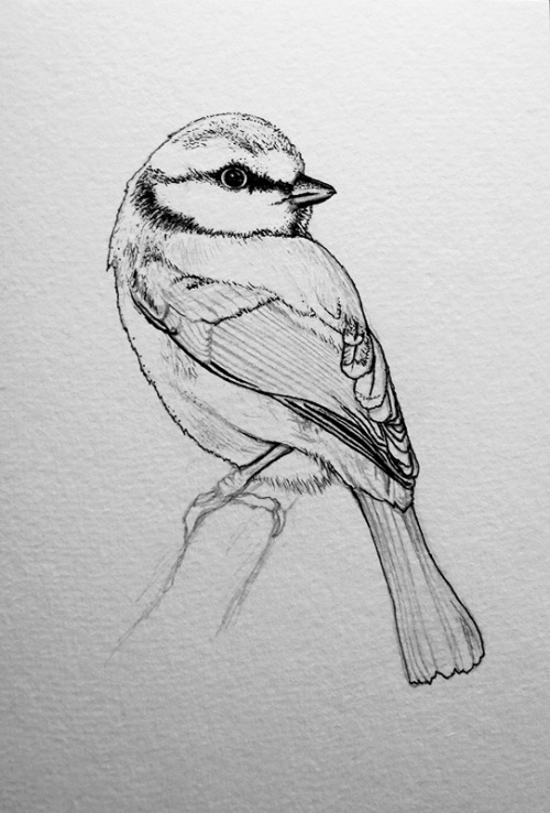 Blue tit illustration in progress…