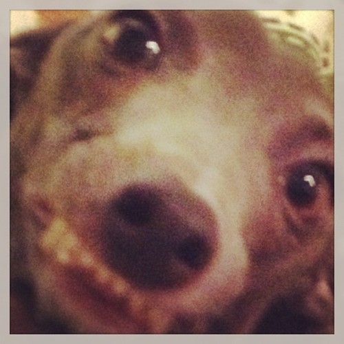 neatparts:  Good morning, humans. #dog #italiangreyhound #stinky #iggy  lmfao omg!!!