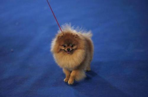 A German Spitz competes at the Shanghai International Dog Show, in Shanghai March 15, 2013. REUTERS/Carlos Barria (via Shanghai's Dog Show | Reuters.com)