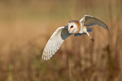 Barn owl (by Ivan Ellison)