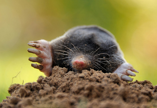 phototoartguy:  A mole emerged from the dirt in Godewaersvelde, France. (Philippe Huguen/AFP/GettyImages) #  Moles! 6.02x10^23