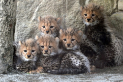 eyes-of-the-cat:  Cheetah Cubs (Steve Tracy Photography)