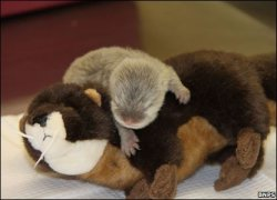 baby otter on a stuffed version of itself.  You're welcome.