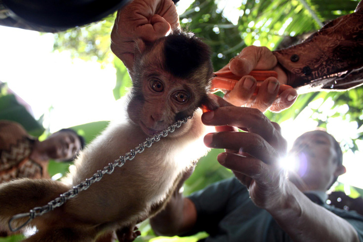 Feb. 20, 2013. Indonesian men put a chain onto a young pig-tailed macaque as it is displayed for sale in Padang Pariaman, West Sumatra, Indonesia. (Photo: Rivo Andries—AP) See more of the week's best images at TIME LightBox.