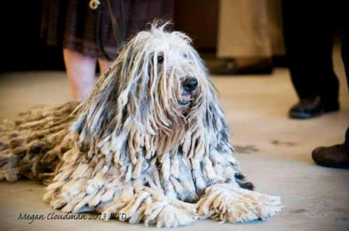 artofdogs:  Komondor (photo by Megan Cloudman/Best In Show Daily)
