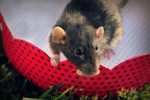 rat-it-to-me:  Josie