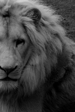 absinthius:  White Lion