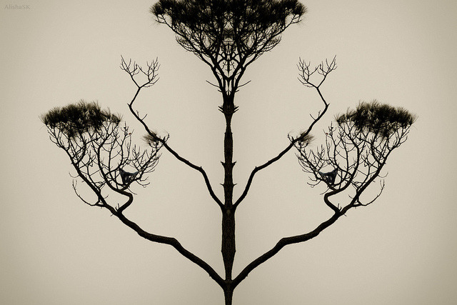 Symmetree on Flickr.