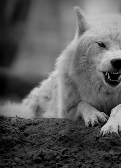 #wolf #white #teeth #cute :3