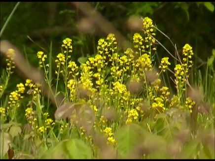 video frame from home movies/notes.  —- mustard growing in the woods —-