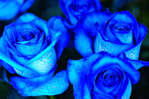 Im in love with blue roses