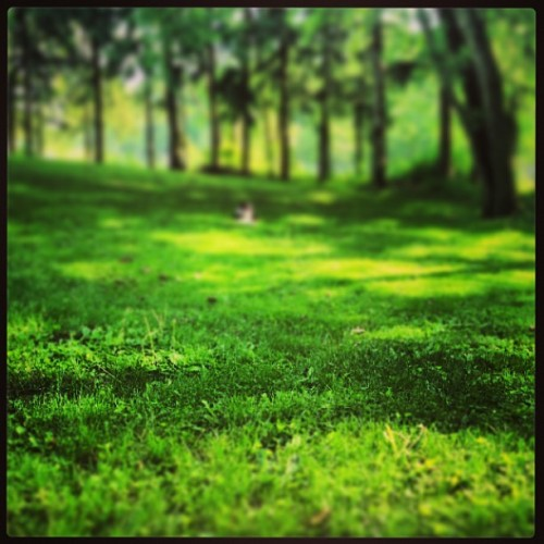 Small dog, big yard. #aussie #australianshepherd #summer #frisbee #grass #dog #playtime