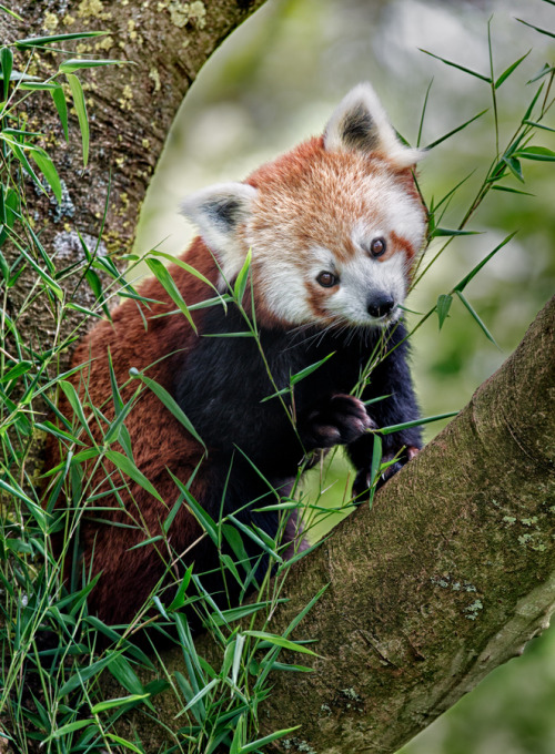earthandanimals:  The adorable Red Panda. Photo by Sue Demetriou.  THAT FACE
