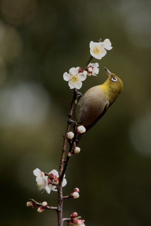 isawatree:  Reaching for the Nectar by Ken Shimo