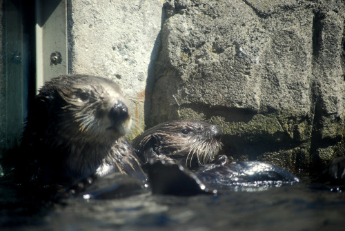 maggielovesotters:  Tanu and Katmai hanging out at Vancouver Aquarium