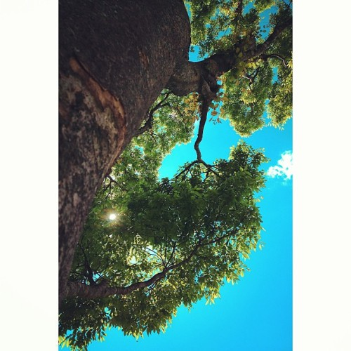 ‹‹\( ´ω`)/›› #fine #weather #shine #blue #sky #sun #sunshine #leaf #leaves #foliage #green #verdure #tree #wood #timber #nature #gotemba #gotenba #shizuoka #japan