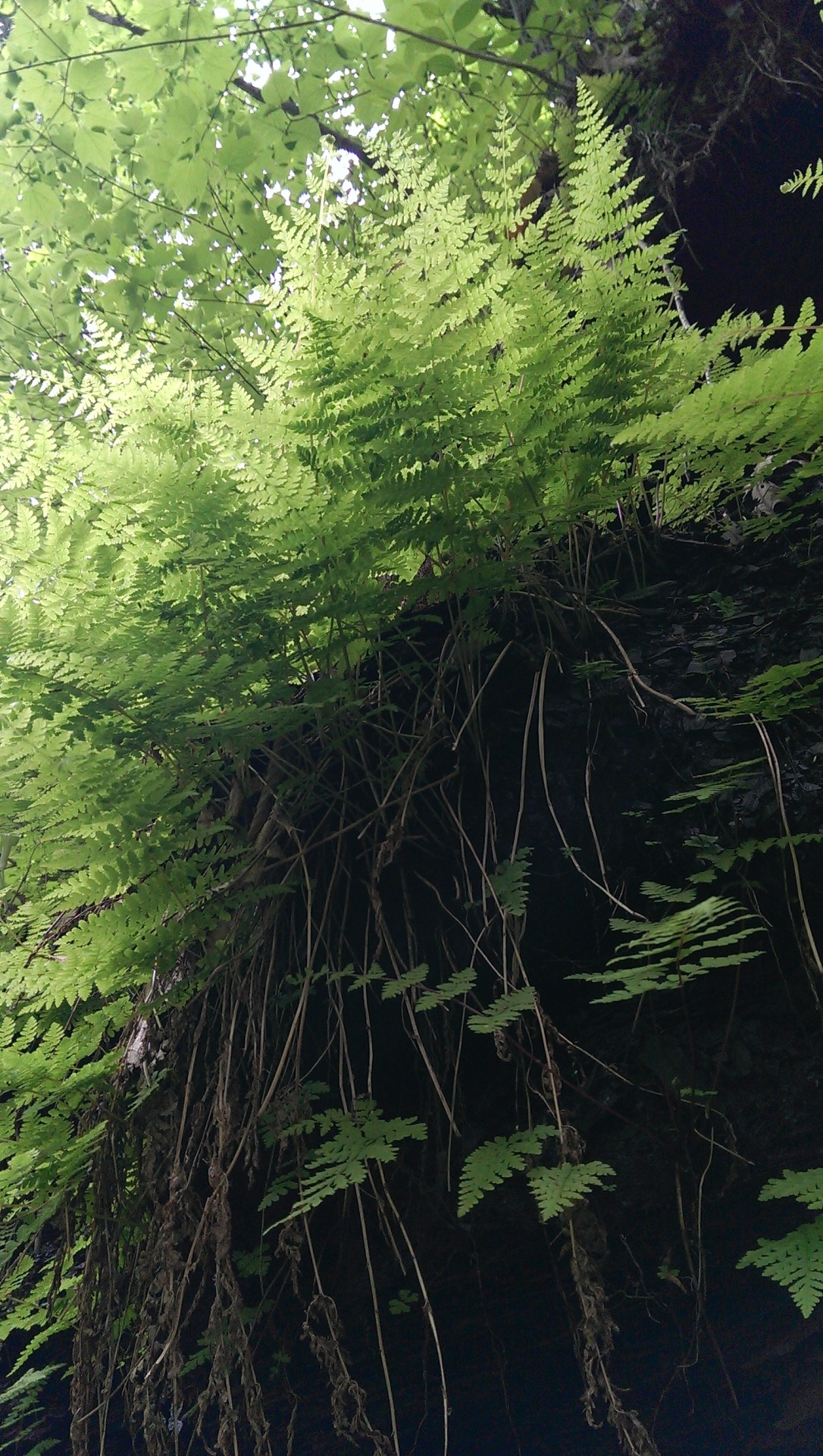 ferns, today