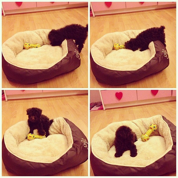 My little chocolate poodle getting used to her new crate 💓