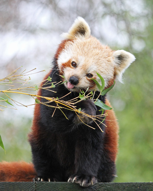 theloveforanimals:  Red Panda 3 by *SnowPoring