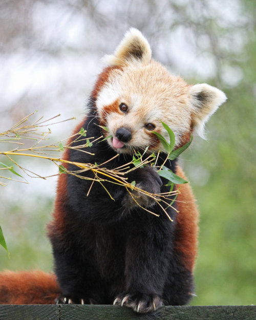 organicone:  theloveforanimals:  Red Panda 3 by *SnowPoring  http://bit.ly/ZoIZyQ