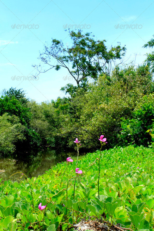 Pink Flowers at Swamp. Download here: http://photodune.net/item/pink-flowers-at-swamp/4276351