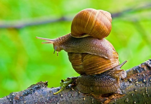 animals-riding-animals:  snail riding snail