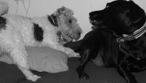 tearacey:  fox terrier billy loves to play with big bro Jake the Labrador.
