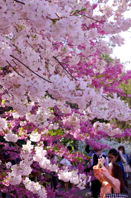 Taking sakura photos by runslikethewind83 on Flickr.