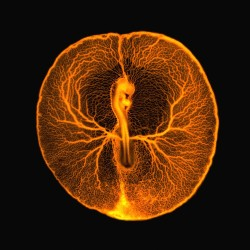 medicinenotes:    Chicken embryo vascular system This fluorescence micrograph shows the vascular system of a developing chicken embryo (Gallus gallus), two days after fertilisation. Injecting fluorescent dextran revealed the entire vasculature used by the embryo to feed itself from the rich underlying yolk inside the egg. The image shows the central chicken embryo surrounded by veins and arteries. The head of the embryo, including the embryonic eye and brain, can be seen on the upper part of the embryo, just above the embryonic heart. The long lower part of the embryo is the future body of the chicken, from which legs and wings will develop. At this stage of development, the embryo and its surrounding vasculature are a little smaller than a 5p coin. Credit: Vincent Pasque, University of Cambridge