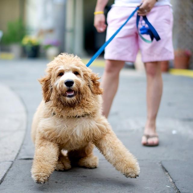 thedogist:  Monty, Goldendoodle, Boat Basin Cafe, New York, NY