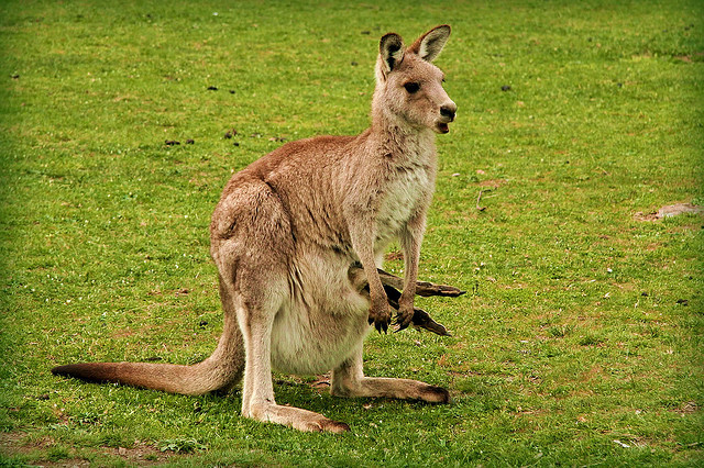 wtfevolution:  A female kangaroo is always pregnant. While one joey grows in her pouch, another one gestates in one of her two uteruses. As soon as the developed joey leaves the pouch, the next one is ready to come down the pipe—of which, by the way, she has three. Happy Mother's Day.