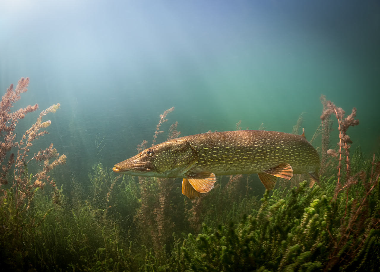 the pike (by Chris Penker) #landscape#seascape#underwater#ocean#animals#fishes#pike fish #curators on tumblr