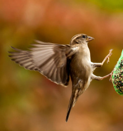 Sparrow Landing Canon 5DMK2 by Spangles44 Blinkagain Interesting join us! on Flickr.