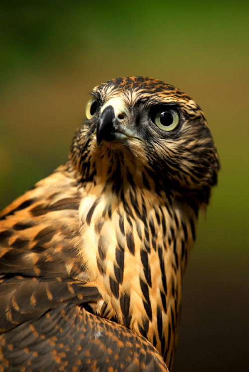 10bullets:  Goshawk Glance by *Shadow-and-Flame-86  http://abretumente.tumblr.com/