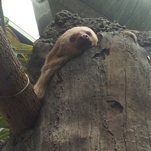 My in person experience with the sloth named Homer Hoffman. Sloths are my spirit animals #DetroitZoo #Sloth