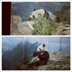 gpoy. #Panda #bear #bamboo #giantpanda #cute #sleep #nap #DC #layzeelyfe #IWANTONE (at National Zoological Park)
