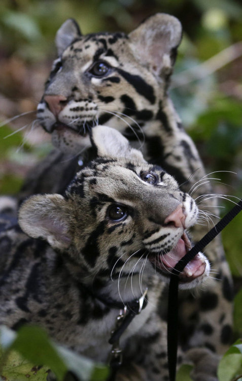 magicalnaturetour:  Spotty Siblings at the San Diego Zoo ~ Photo by Gregory Bull/AP via Animal Tracks :)