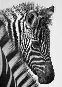 cutestofthecute:  (via)  Cute Baby Zebra Portrait,B&W
