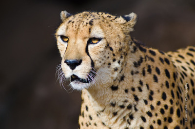 sdzoo:  Bakka the Cheetah by kroche87