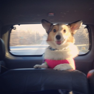 I like car rides! Yeah, she's wearing her bow sweater, it just looks too cute on her! And she doesn't even care about it so she never tries to get it off haha. BONUS! #corgi #pembrokewelsh #welshcorgi #dog #cute #dogsweater #ears