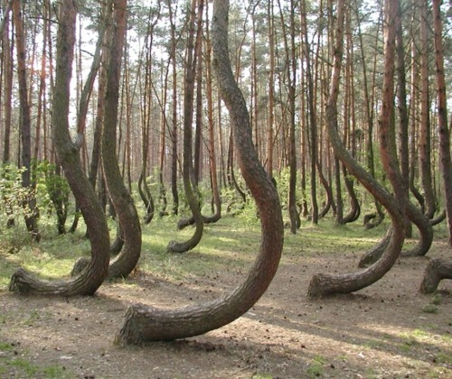 thecheekiestboy:  the 'crooked forest'