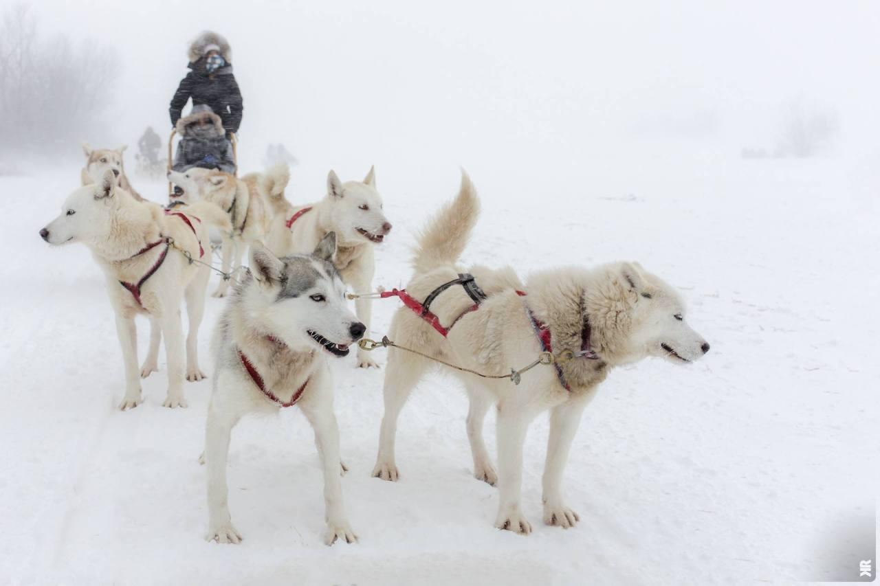 Tiguidou! L'hiver dévoile un autre visage du Québec, blanc et d'un froid extrême, à première vue inhospitalier et pourtant si chaleureux. Pour le découvrir, il s'agira de s'accommoder de ses contraintes tout en embrassant ses coutumes. C'est ce que nous avons tenu à faire lors d'une sortie de traineau à chiens sur l'île d'Orléans.  -15/-20°C, un blizzard cinglant et 50cm de neige au sol, voilà les conditions brutes qui attendaient Capucine et Raphaël, que nous avons exceptionnellement accueilli durant ce week-end entre Noël et le nouvel an. De quoi découvrir le Canada par la manière forte, à l'image du fleuve Saint-Laurent entièrement étreint par la glace! La route qui nous mène à l'Auberge du P'tit Bonheur est dantesque. Bourrasques de neige, visibilité réduite, plaques de neige fraîche sur le goudron. Nous ne réussirons pas à monter deux fois la côte enneigée menant à l'auberge, la voiture de location patinant dans le vide à mi-hauteur.  Cela ne nous empêche pas d'être à l'heure au cri de ralliement - Tiguidou! (C'est parfait!) - pour le départ du convoi qui se prépare. Les québecois ne font pas de traineau à chiens pour le plaisir. C'est donc entouré d'une vingtaine de touristes (français) que nous nous préparons pour l'expédition, enfilant chaque vêtement en double. N'est-ce pas Capucine (Le Bonhomme)? :-) Initialement prévue d'une durée de 2 heures, celle-ci sera exceptionnellement réduite d'une heure car les chiens n'auraient pas tenu davantage dans ces conditions. Ce qui a pu se vérifier durant ce qui fût leur dernier départ du week-end. Car on nous avait préparé à l'idée qu'il y a toujours un traineau pour ralentir le convoi, mais on nous avait pas prévenu que ça serait le nôtre!  Impossible de faire avancer ces têtus huskys! Désordonnés, chamailleurs voire fumistes, ces bêtes nous donnent du fil à retordre… La balade se transforme en épreuve d'endurance, où l'on s'interroge sur qui pousse ou tire qui?! Et ce qui pourrait se montrer cocasse devient fraicheme