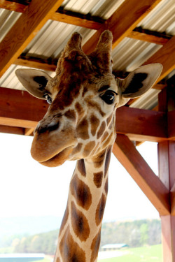 Giraffe by LetsCountTheWays on Flickr.